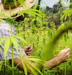 When Is Your Cannabis in Season? Factors That Influence Growing, Harvest, and Availability