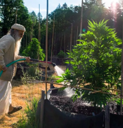 """The Hardscrabble Origins of California's Fabled """"Emerald Triangle"""" Part One"""